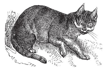 レトロ: ワイルドキャットまたは Felis 野良猫、ヴィンテージの彫刻。古い山猫のイラストを刻まれています。