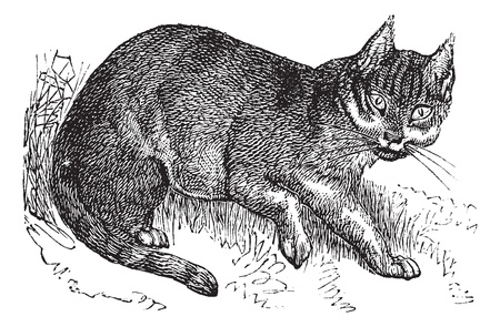 carnivores: Wildcat or Felis silvestris, vintage engraving. Old engraved illustration of a Wildcat. Illustration