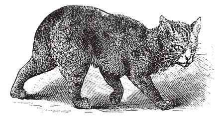 Manx, vintage engraving. Old engraved illustration of a Manx.