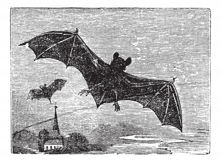 Common Bat or Vesper Bat or Evening Bat or Vespertilionidae, vintage engraving. Old engraved illustration of a Vesper Bat in flight. Stock Vector - 13771682