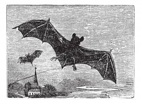 echolocation: Common Bat or Vesper Bat or Evening Bat or Vespertilionidae, vintage engraving. Old engraved illustration of a Vesper Bat in flight. Illustration