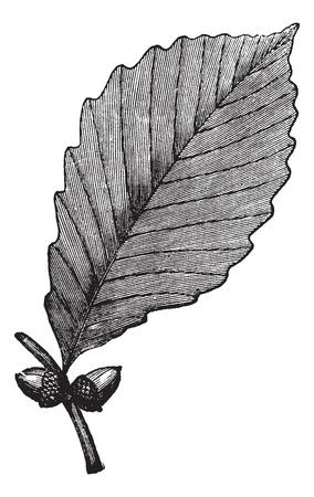 иллюстрация: Каштан дуба или дуба или Rock Quercus prinus, старинные гравюры. Старый выгравированы иллюстрация показывает Дуб Каштан листьев и желудей. Иллюстрация