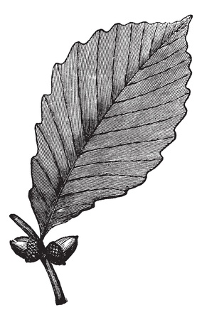 quercus: Chestnut Oak or Rock Oak or Quercus prinus, vintage engraving. Old engraved illustration of Chestnut Oak showing leaf and acorns.