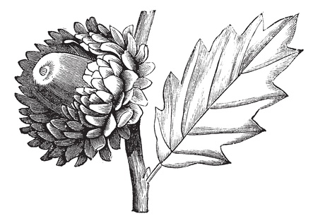 Valonia Oak or Quercus macrolepis, vintage engraving. Old engraved illustration of Valonia Oak showing flower with cup-shaped acorn. Vector
