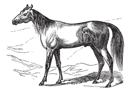 Arabian Horse or Arab Horse or Equus ferus caballus, vintage engraving. Old engraved illustration of Arabian Horse.