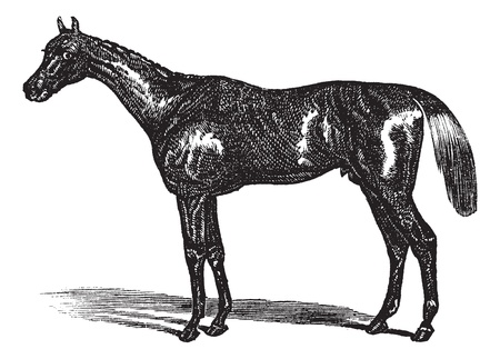 Thoroughbred or Equus ferus caballus, vintage engraving. Old engraved illustration of a Thoroughbred. Vector