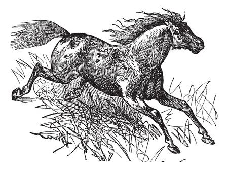 viejo oeste: Caballo Mustang o feral, el grabado de la vendimia. Ilustraci�n del Antiguo grabado de un Mustang.