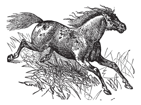 pioneer: Mustang or Feral Horse, vintage engraving. Old engraved illustration of a Mustang.