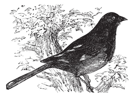 erythrophthalmus: Eastern Towhee or Chewink or Pipilo erythrophthalmus, vintage engraving. Old engraved illustration of an Eastern Towhee.