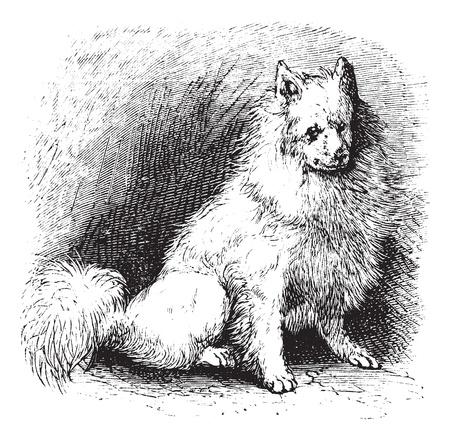 alaskabo: Husky or Canis lupus familiaris, vintage engraving. Old engraved illustration of Husky.