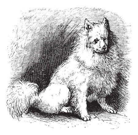eskimo dog: Husky or Canis lupus familiaris, vintage engraving. Old engraved illustration of Husky.