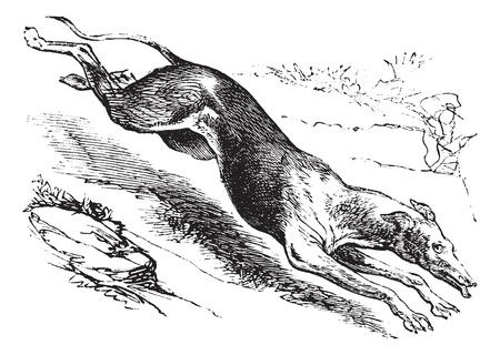 chart: Angielski Greyhound lub Canis lupus familiaris, vintage grawerowanych. Stary wygrawerowane ilustracja z angielskiej Greyhound.