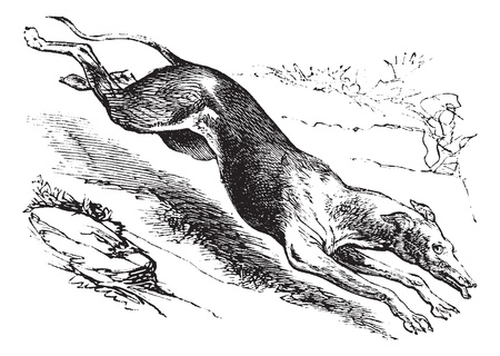 English Greyhound or Canis lupus familiaris, vintage engraving. Old engraved illustration of an English Greyhound. Stock Illustratie