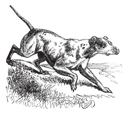 perro de caza: Pointer o Inglés Puntero o Canis lupus familiaris, el grabado de época. Ilustración del Antiguo grabado de un puntero.