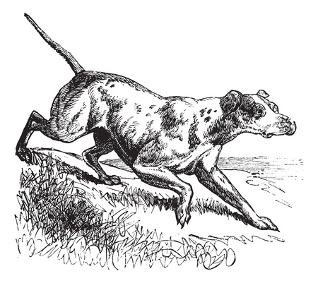 Pointer or English Pointer or Canis lupus familiaris, vintage engraving. Old engraved illustration of a Pointer. Vector