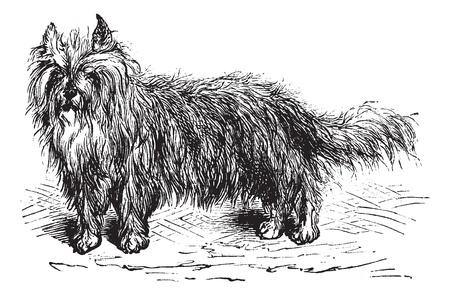 Skye Terrier or Canis lupus familiaris, vintage engraving. Old engraved illustration of a Skye Terrier. Vector