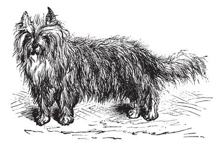 familiaris: Skye Terrier or Canis lupus familiaris, vintage engraving. Old engraved illustration of a Skye Terrier.