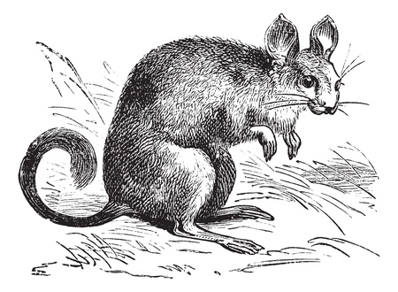 omnivore animal: Chinchilla or Chinchilla lanigera, vintage engraving. Old engraved illustration of a Chinchilla.