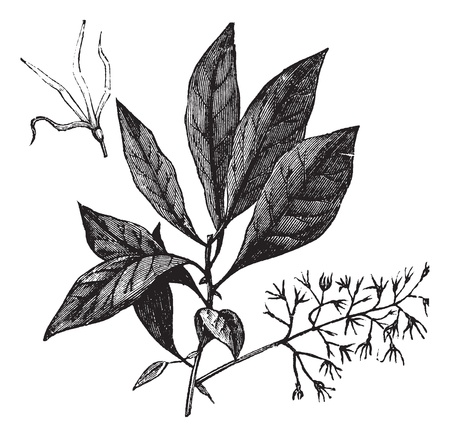 graft: White Fringetree or Chionanthus virginicus, vintage engraving. Old engraved illustration of White Fringetree showing flowers.