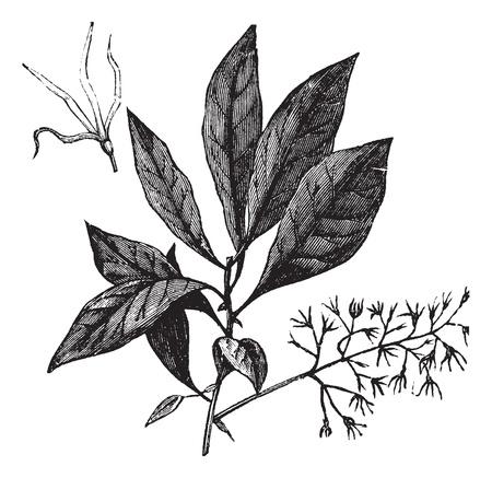 enten: Witte Fringetree of Chionanthus virginicus, vintage graveren. Oude gegraveerde afbeelding van Witte Fringetree met bloemen.