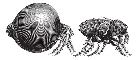 paralysis: Tick, vintage engraving. Old engraved illustration of a Tick showing female tick (left) and male tick (right).