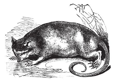 possum: Water Opossum or Yapok or Chironectes minimus, vintage engraving. Old engraved illustration of a Water Opossum. Illustration