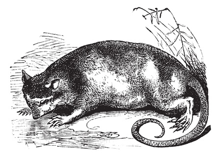 watertight: Water Opossum or Yapok or Chironectes minimus, vintage engraving. Old engraved illustration of a Water Opossum. Illustration
