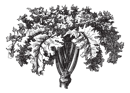 Rutabaga or Swedish Turnip or Yellow Turnip or Brassica napobrassica, vintage engraving. Old engraved illustration of a Rutabaga. Vector
