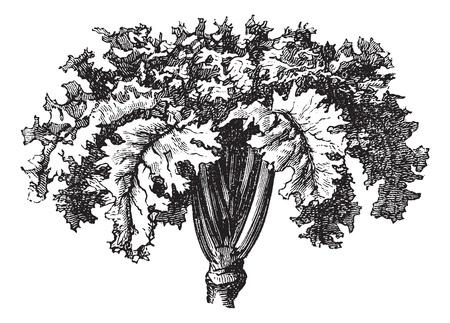 brassica: Rutabaga or Swedish Turnip or Yellow Turnip or Brassica napobrassica, vintage engraving. Old engraved illustration of a Rutabaga.