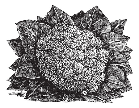 antique dishes: Broccoli or Brassica oleracea, vintage engraving. Old engraved illustration of a Broccoli.