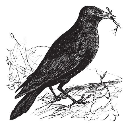 corbeau: Choucas des tours Corvus monedula ou, gravure mill�sime. Vieux illustration grav�e d'un choucas.