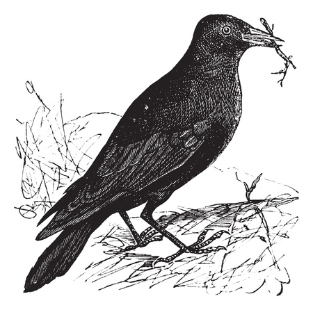 monedula: Jackdaw or Corvus monedula, vintage engraving. Old engraved illustration of a Jackdaw.