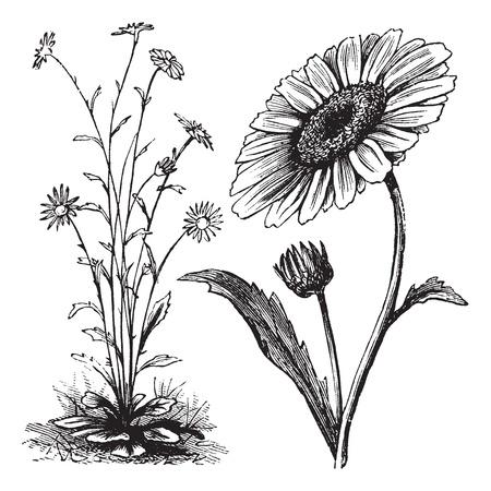 plantas medicinales: Chrysanthemum sp., Grabado de época. Ilustración del Antiguo grabado de un crisantemo.