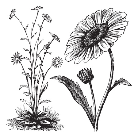 Chrysanthemum sp., vintage engraving. Old engraved illustration of a Chrysanthemum. Vector