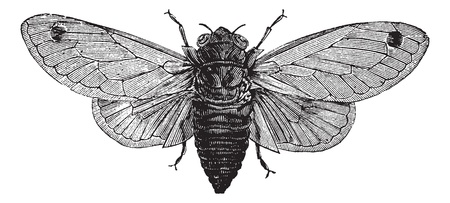 brood: Seventeen-Year Cicada or Magicicada sp., vintage engraving. Old engraved illustration of a Seventeen-Year Cicada.