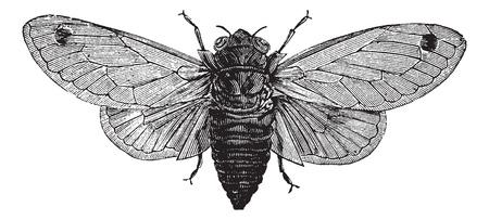 Seventeen-Year Cicada or Magicicada sp., vintage engraving. Old engraved illustration of a Seventeen-Year Cicada.