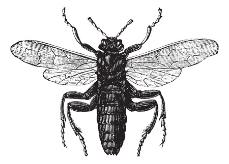 larvae: Elm Sawfly or Cimbex ulmi, vintage engraving. Old engraved illustration of an Elm Sawfly.