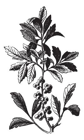 plantas medicinales: El sur de la cera o el sur de Myrtle Bayberry o Candleberry o sebo o cerifera Myrica, el grabado de la vendimia. Ilustración del Antiguo grabado de una cera de mírica sur mostrando las bayas.