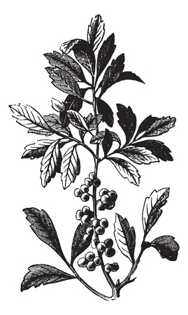 Southern Wax Myrtle or Southern Bayberry or Candleberry or Tallow or Myrica cerifera, vintage engraving. Old engraved illustration of a Southern Wax Myrtle showing berries.
