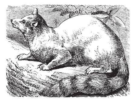 Ringtail of Ring-tailed kat of Bassariscus astutus, vintage graveren. Oude gegraveerde afbeelding van een Ringtail. Stock Illustratie
