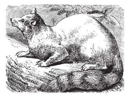 Ringtail or Ring-tailed Cat or Bassariscus astutus, vintage engraving. Old engraved illustration of a Ringtail.