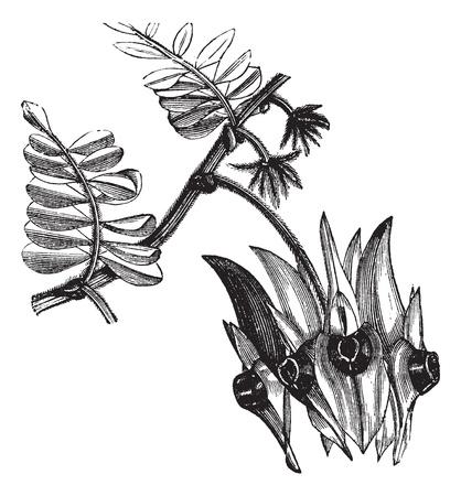 スタートの砂漠エンドウ豆またはスウェインソナ フォルモサ ビンテージ彫刻。古い球根のセンターを持つ葉のような花を見せてスウェインソナ フ