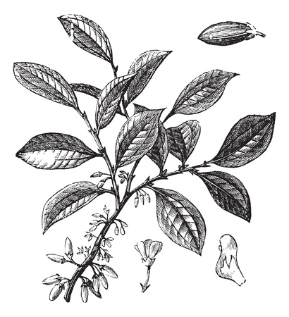 암술: 코카인 또는 코카콜라 또는 Erythroxylum 코카콜라, 포도 수확, 조각. 오래 꽃을 보여주는 코카인 식물의 그림을 새겨 져있다.