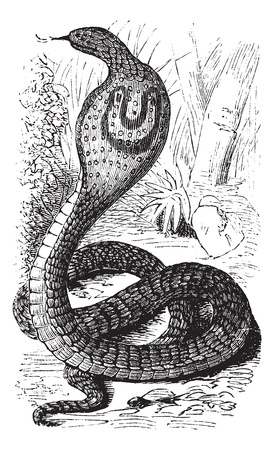Indian Cobra or Spectacled Cobra or Naja naja, vintage engraving. Old engraved illustration of an Indian Cobra. Vector