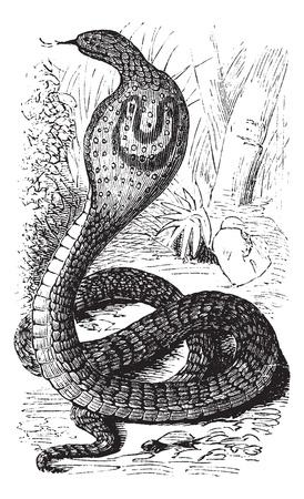 snake charmer: Indian Cobra or Spectacled Cobra or Naja naja, vintage engraving. Old engraved illustration of an Indian Cobra. Illustration