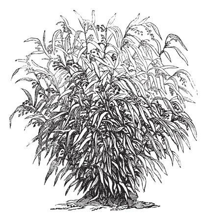 ハトムギのまたは Coixseed または引き裂く草ハトムギ アドレー又は Coix ハトムギ、ヴィンテージの彫刻。古いハトムギの図を刻まれています。