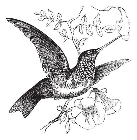орнитология: Ruby-горло Hummingbird или Архилоха Colubris, старинные гравюры. Старый выгравированы иллюстрации Ruby-горло Hummingbird.