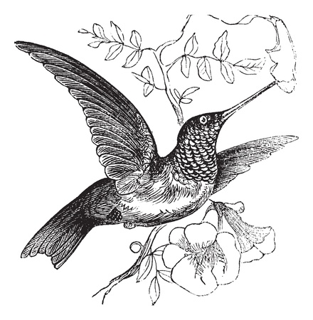 migrating birds: Ruby-throated Hummingbird or Archilochus colubris, vintage engraving. Old engraved illustration of a Ruby-throated Hummingbird. Illustration
