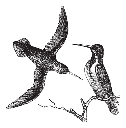 humming: Jamaican Mango or Anthracothorax mango, vintage engraving. Old engraved illustration of the Jamaican Mango showing male bird (right) and female bird (left).