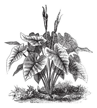 houseplants: Elephant Ear or Heart of Jesus or Angel Wings or Caladium sp., vintage engraving. Old engraved illustration of an Elephant Ear plant.